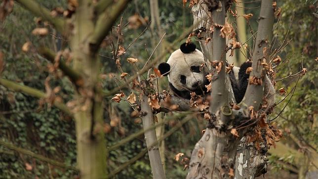 Ha ocurrido en el Centro de Investigación sobre el Oso Panda Gigante que alberga una reserva de Sichuan (provincia situada al suroeste de China)