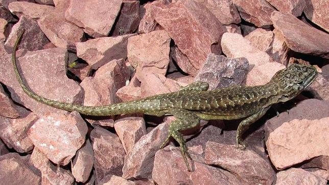Una de las dos nuevas especies de lagarto descubierta en Chile: Liolaemus scorialis