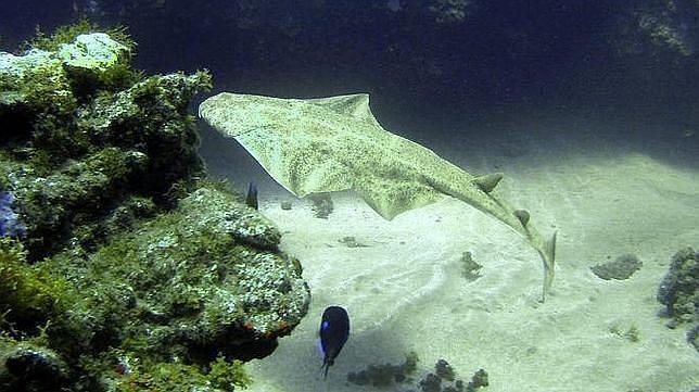 Un tiburón ángel, o angelote, en aguas de Gran Canaria