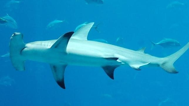 La característica cabeza en forma de «T», la «bandera» de la cornuda o tiburón martillo