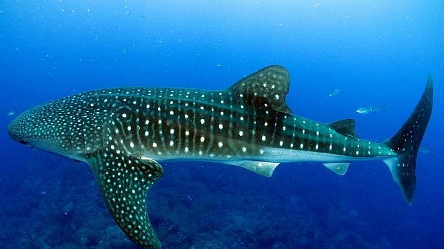 Un tiburón ballena, con sus característicos topos blancos