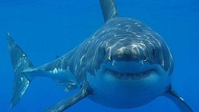 Un ejemplar de tiburón blanco en aguas de Sudáfrica