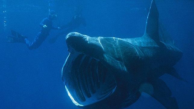 Dos buceadores observan un impresionante tiburón peregrino