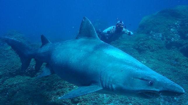 Un ejemplar del misterioso tiburón solrayo, también visto en Canarias