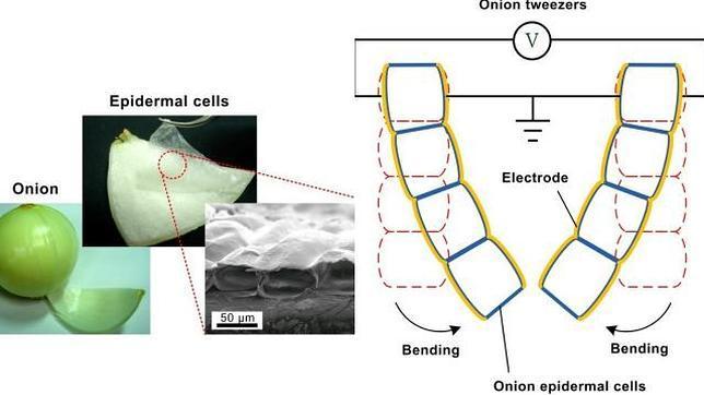 Crean unos músculos artificiales a partir de células de cebolla