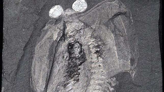 Un cerebro fósil antiguo revela el origen de las cabezas de los animales tempranos