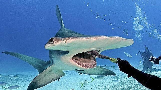 Un buzo da de comer a un tiburón martillo