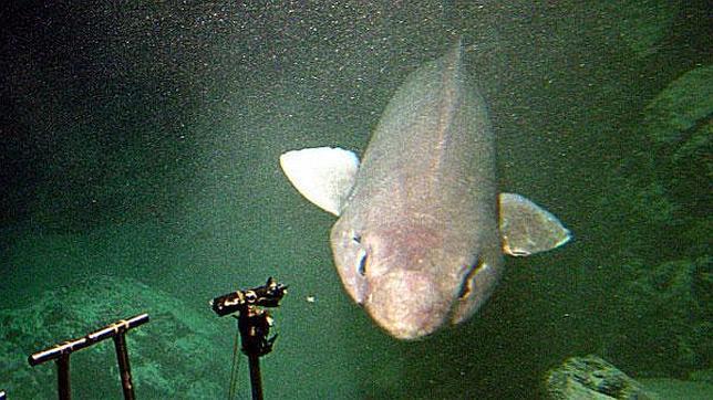 Un Musolón fotografiado a más de mil metros de profundidad en Hawaii