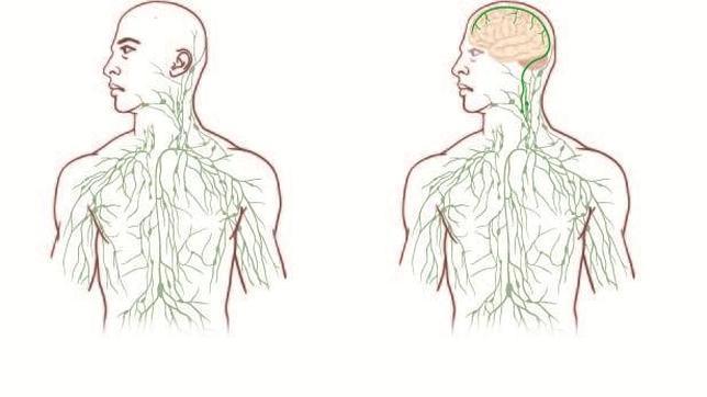 Identifican nuevos vasos sanguíneos que conectan el cerebro con el ...