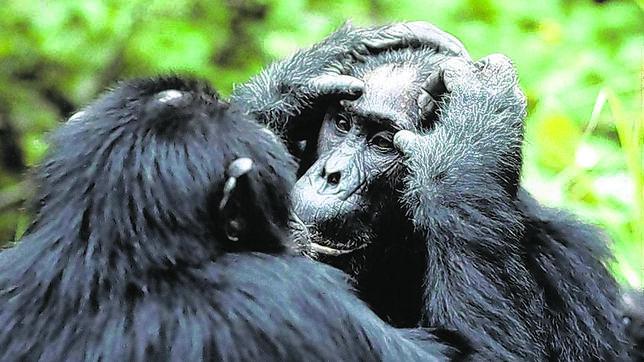 Los chimpancés también saben cocinar