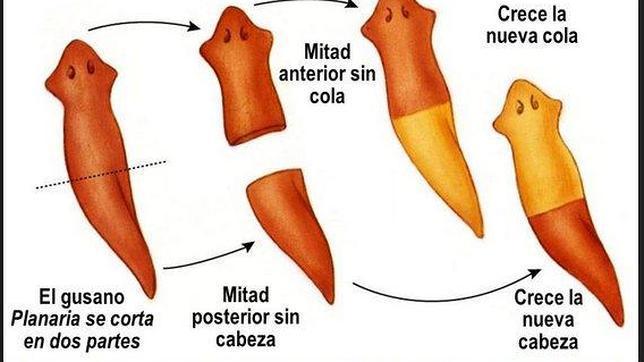 Reconstrucción del proceso regenerativo del gusano planaria