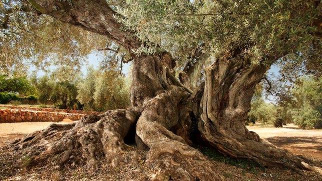 El olivo conocido como la Farga de Arion