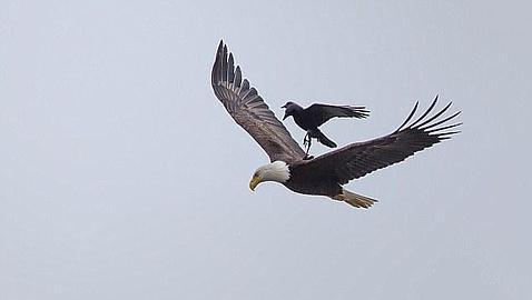 Impresionante foto: un águila volando con un cuervo sobre su espalda