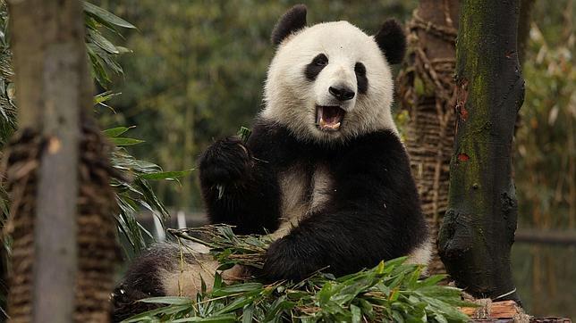 Un ejemplar de oso panda gigante alimentándose de bambú