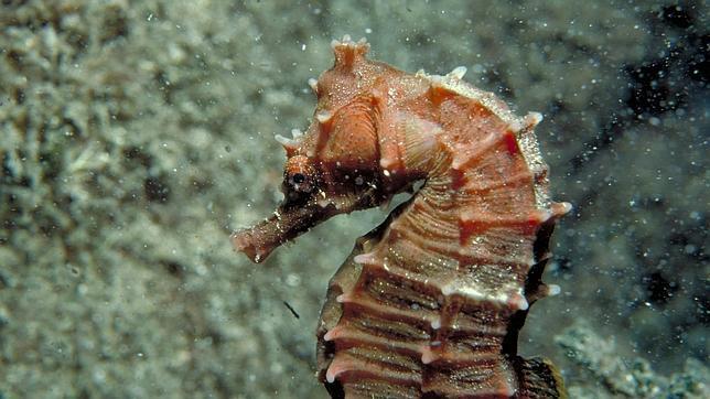 La cola de los caballitos de mar podría inspirar la construcción de mejores robots y dispositivos médicos
