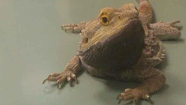 Ejemplar de «Pogona Vitticeps» o dragón barbudo australiano