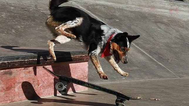Las asombrosas habilidades del perro más listo del mundo