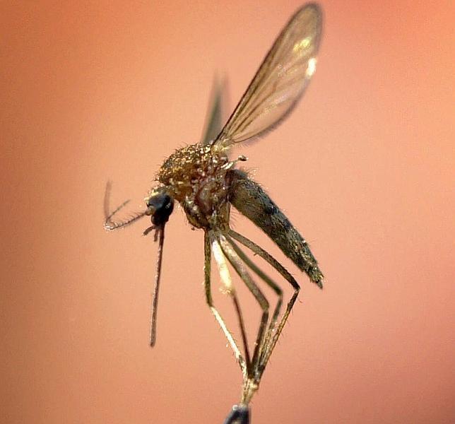 Así seleccionan los mosquitos a sus víctimas