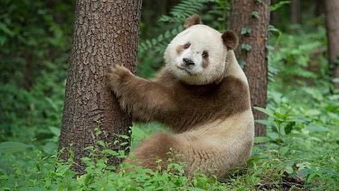 Qi Lai, el extremadamente raro panda marrón y blanco