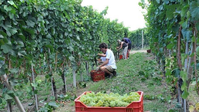 Agricultores italianos recogen uvas de Chardonnay en Turín, Italia