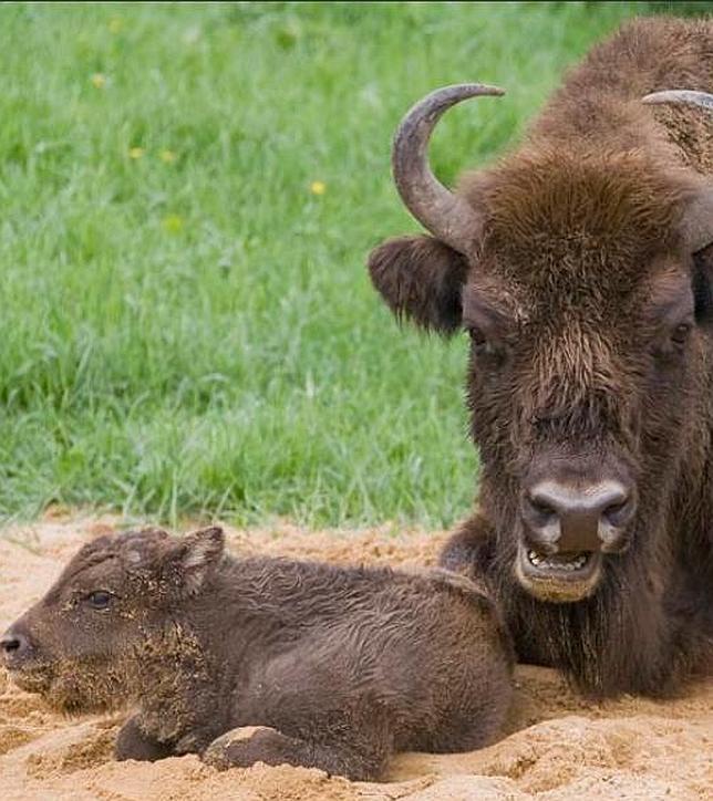 Q Es Un Bisonte Bisonte europeo...