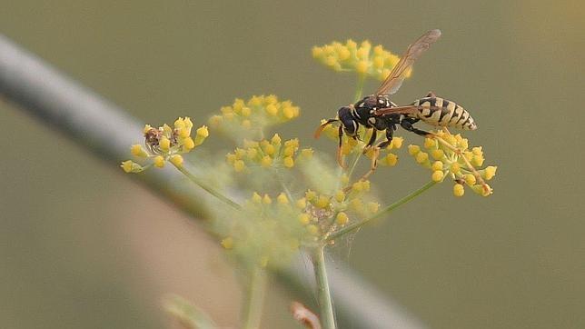El veneno de una avispa brasileña, uninesperado aliado contra el cáncer