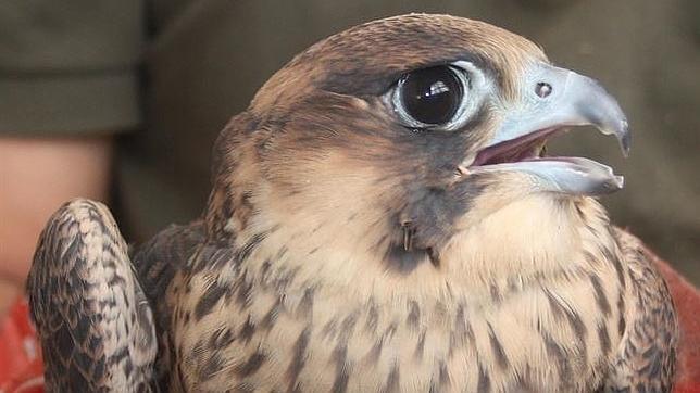 Uno de los halcones pregrinos criados en Madrid