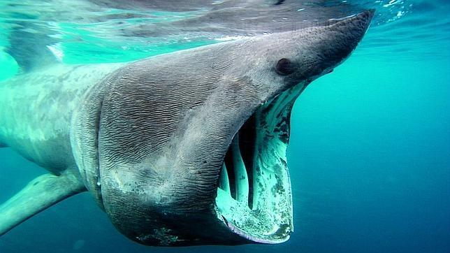 El tiburón peregrino. Es el segundo pez más grande del mundo. Su silueta es similar a la de un tiburón cazador, pero se alimenta filtrando el agua. Nada con la boca abierta hasta hacerla redonda y filtra el agua a través de unas inmensas branquias