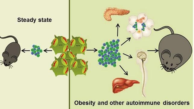 ¿Es la obesidad una enfermedad inmune?