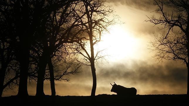 El toro de lidia