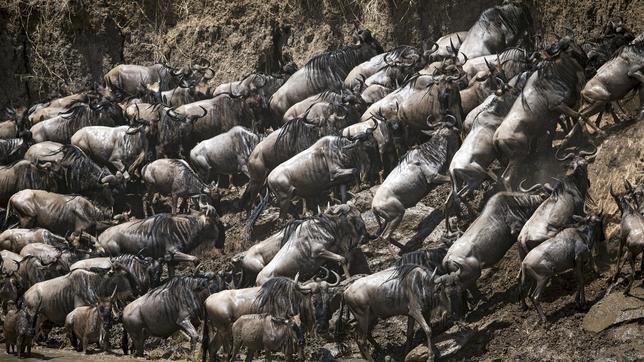 Impresionantes imágenes de la gran migración de ñus en África