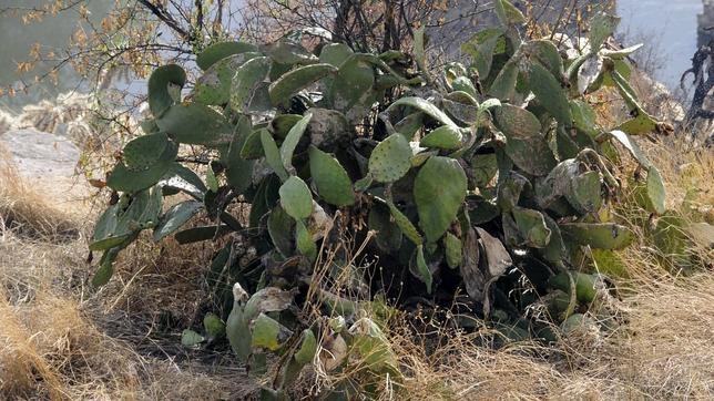 Los cactus, más amenazados de extinción que los mamíferos y las aves