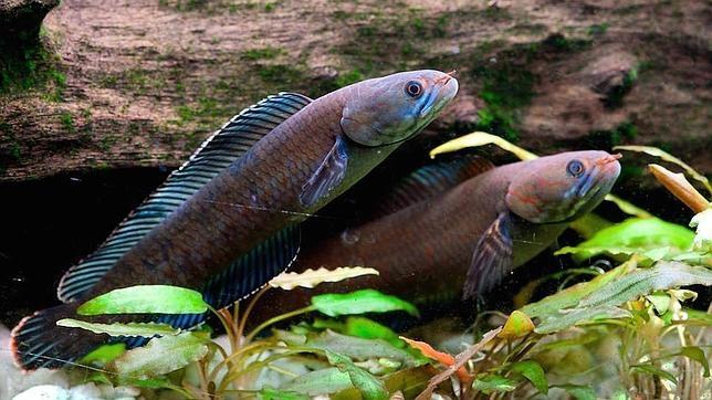 Descubren en el Himalaya un pez con cabeza de serpiente que camina