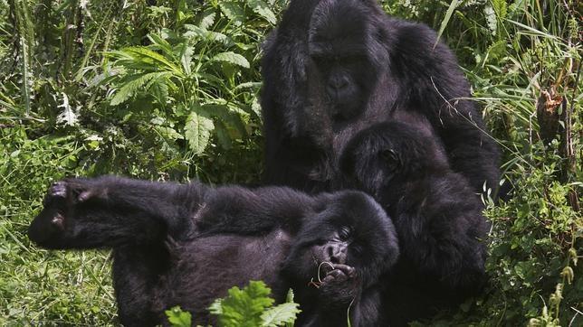 d2dd8676274c Cuántos gorilas de montaña silvestres quedan en las montañas Virunga