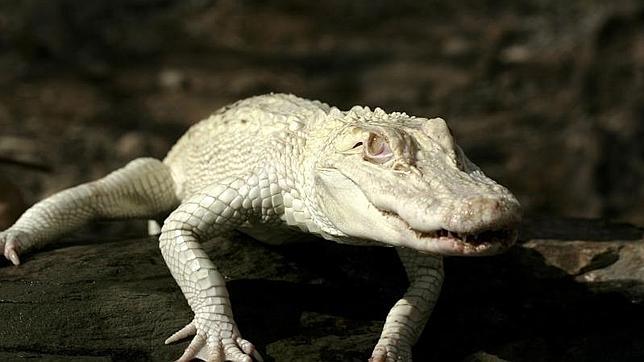 Imagen de un ejemplar de cocodrilo albino del parque temático Sioux City de Gran Canaria