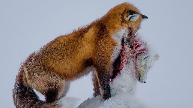 la imagen de dos zorros la mejor fotografa de la naturaleza en