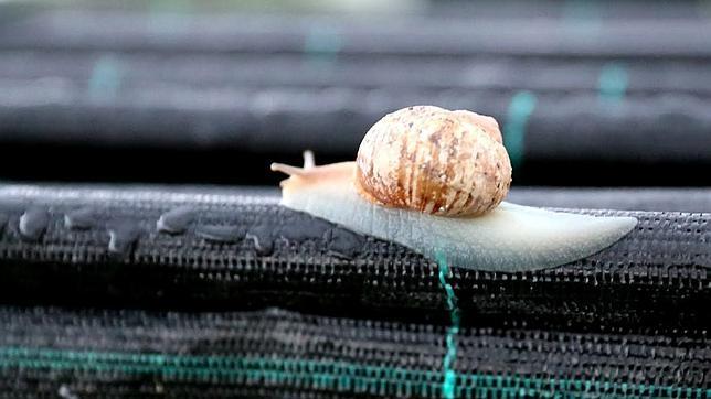 El caracol de jardín es la especie más habitual en los criaderos