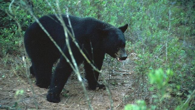 La caza de osos negros se había prohibido en Florida en 1994