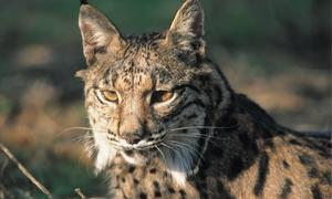 http://www.abc.es/Media/especiales/canal-natural/lince--300x180.jpg