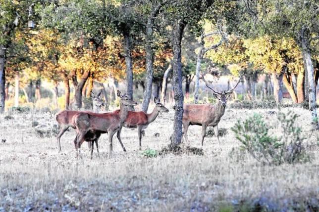 Un ciervo macho acompañado de tres hembras de su harén y una cría