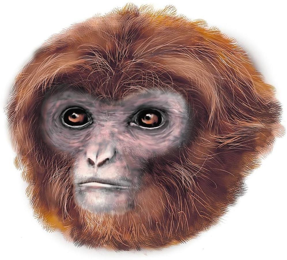 Pliobates cataloniae. Este pequeño mono de 45 centímetros y 5 kilos de peso vivió hace 11,6 millones de años en Cataluña. Su descubrimiento plantea la posibilidad de que los primeros humanos podrían haber estado más estrechamente relacionados con los gibones que los grandes simios