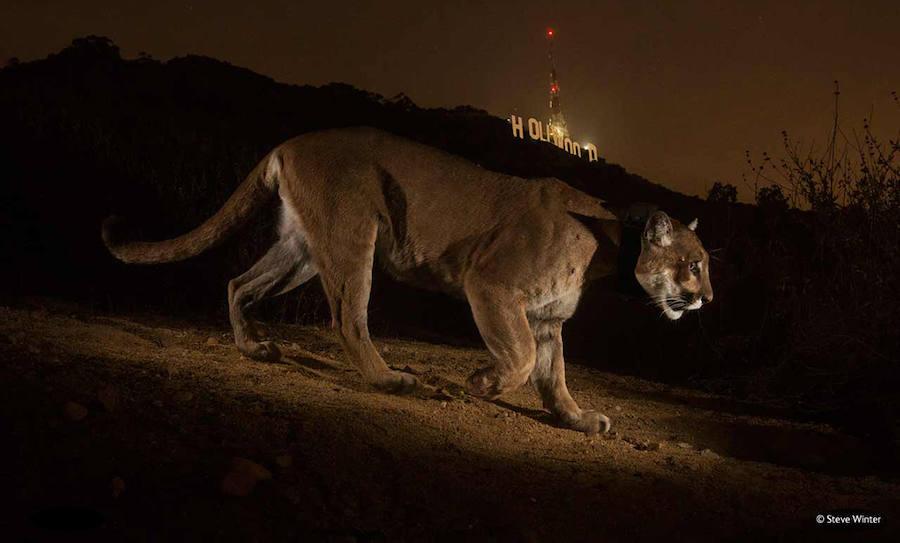 Big Cat Wildlife Camera Night