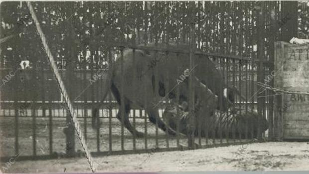 La bárbara lucha entre un toro y un tigre que provocó un estampida en San Sebastián