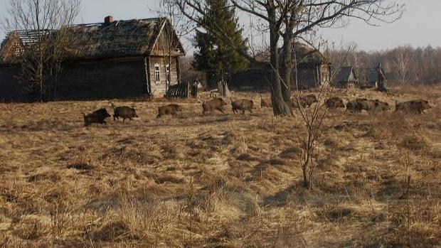 Jabalíes en la zona de exclusión humana de Chernóbil