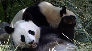 Según investigadores chinos, los pandas para transmitir hambre realizan un sonido que podría trasncribirse como «yi yi» o si están enfadados emiten un ruido similar a un ladrido