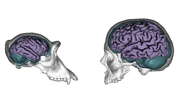 El chimpancé y el hombre se diferencian en el uno por ciento de los genes, pero estos no son tan determinantes en la organización cerebral del humano