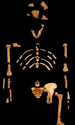 Los restos hallados de Lucy la australopithecus