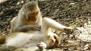 Los investigadores estudiaron el comportamiento de monos para conocer la función de la amígdala
