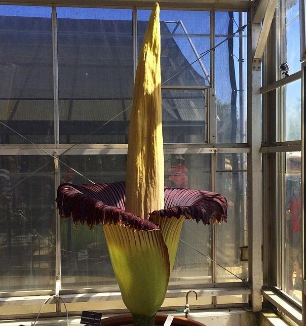 La flor de dos metros que huele a muerto