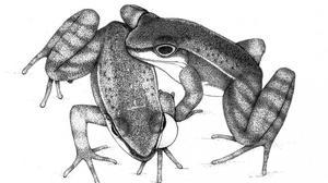 Las ranas que se hacen señas y se tocan para comunicarse